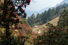 The Himalayan Mountains, Nepal. Flowering rhododendrons. stock image