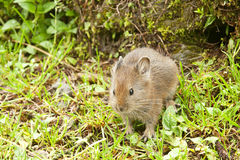 Himalayan mouse hare Royalty Free Stock Photography