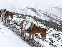Himalayan mules post - Snowy weather in Thorong La Pass, Nepal Stock Photography