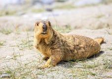 Himalayan murmeldjur fotografering för bildbyråer