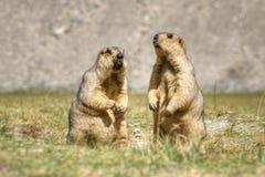 Himalayan murmeldjur parar anseende i den öppna grässlätten, Ladakh, Indien Royaltyfri Fotografi