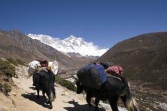 himalayan nepal yaks Royaltyfria Bilder