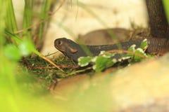 Himalayan newt arkivfoto