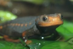 Himalayan newt. On the leaf Stock Photography