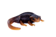 Himalayan newt isolated on white Stock Photography