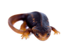 Himalayan newt isolated on white Royalty Free Stock Image
