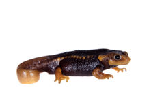 Himalayan newt  on white Royalty Free Stock Photo