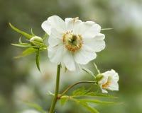 Himalayan peony. (Paeonia emodi), Late spring, Kew Gardens, London, UK Royalty Free Stock Photography
