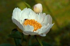 Himalayan peony, Paeonia emodi Royalty Free Stock Photos