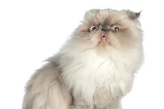 Himalayan Persian royalty free stock photo