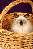 Himalayan Persian Kitten in Basket Royalty Free Stock Image