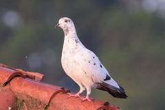 Himalayan pigeon sitting on red roof. It is a photo of himalayn pigeon sitting on the red roof with long neck royalty free stock photo