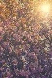 Άγριο κεράσι Himalayan (Prunus cerasoides) Στοκ φωτογραφίες με δικαίωμα ελεύθερης χρήσης