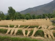 Himalayan remote steppe terrace farmland n wheat fields Royalty Free Stock Images