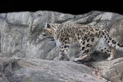Himalayan snow leopard- Bronx Zoo New York. A male Himalayan snow leopard strides across a rocky habitat at the Bronx Zoo New York USA Stock Images