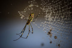 Himalayan Spider Stock Images