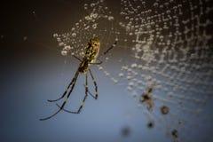 Himalayan spindel Arkivbilder