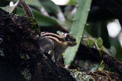 Himalayan striped squirrel on a branch. Himalayan striped squirrel find some foodon a branch of tree royalty free stock photo