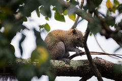 Himalayan striped squirrel on a branch. Himalayan striped squirrel find some foodon a branch of tree stock images