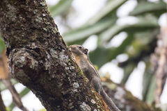 Himalayan striped squirrel on a branch. Himalayan striped squirrel Walking on a branch royalty free stock photography