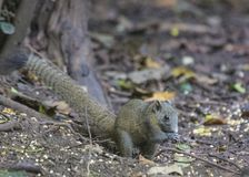 Himalayan Striped Squirrel. On FLoor royalty free stock photography