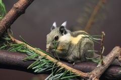 Himalayan striped squirrel Stock Photos
