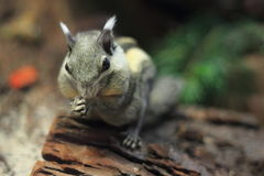 Himalayan striped squirrel Royalty Free Stock Images