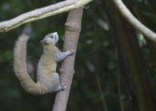 Himalayan Striped Squirrel. On Tree stock photo