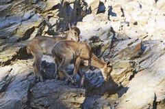 Himalayan tahr. Two young bucks Stock Photography