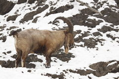 Himalayan tahr. The Himalayan Tahr (Hemitragus jemlahicus) (or Himalayan Thar) on the snow covered rocks Stock Photo