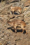 Himalayan tahr Stock Photography
