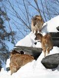 Himalayan Tahr Royalty Free Stock Image