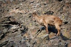 Himalayan tahr Stock Image