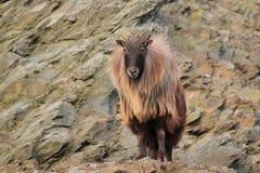 Himalayan tahr. The himalayan tahr posing on the rock Stock Image