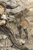 Himalayan tahr. A young buck Stock Images