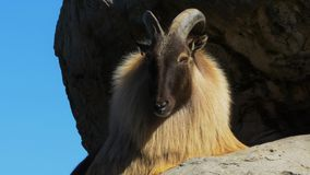 Himalayan tahr on cliff Royalty Free Stock Image