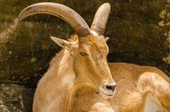 Himalayan tahr. Close up of a Himalayan tahr Hemitragus jemlahicus Stock Image