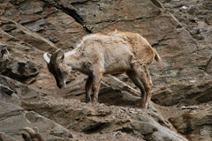 Himalayan tahr Stock Photos