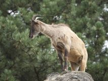 Himalayan tahr Hemitragus jemlahicus. Himalayan tahr in its natural habitat Royalty Free Stock Images
