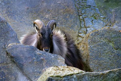 Himalayan tahr Royalty Free Stock Photos