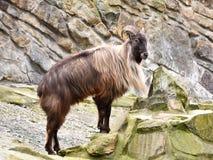 Himalayan tahr (Hemitragus jemlahicus). Himalayan tahr resting in rocks in int habitat Stock Images