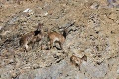 Himalayan tahr hemitragus jemlahicus. Himalayan tahr on the rock Stock Photo