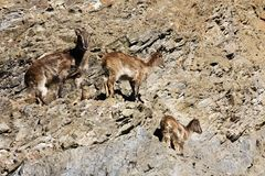 Himalayan tahr hemitragus jemlahicus. Himalayan tahr on the rock Stock Photos