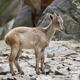 Himalayan tahr & x28; Hemitragus jemlahicus& x29; Royaltyfri Foto