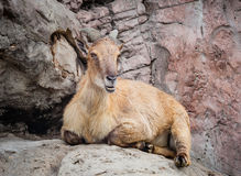 Himalayan Tahr Lying on Rock Chewing Cud. Female Himalayan Tahr (Hemitragus jemlahicus) sitting on a rockface chewing her cud Royalty Free Stock Photography