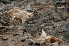 Himalayan tahr Royalty Free Stock Images