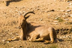 Himalayan tahr on the rock. Male Himalayan tahr Hemitragus jemlahicus on the rock Royalty Free Stock Images