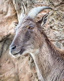 Himalayan tahr on Rockface Looking Surprised. Head of Himalayan tahr (Hemitragus jemlahicus) on a rockface looking very surprised Royalty Free Stock Images