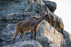 A Himalayan Tahr on a rocky mountain. At sunset Stock Photo