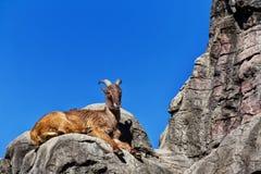 Himalayan Tahr sammanträde på en klippa Royaltyfri Foto